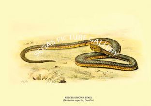 REDDISH-BROWN SNAKE - (Denisonia superba, Gunther)